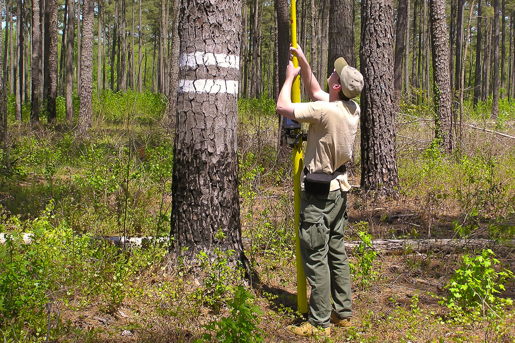 Mike Wilson using Peeper Scope – Mike Wilson uses a peeper scope to examine the contents of a Red-cockaded Woodpecker cavity within the Piney Grove Preserve. The recommended banding window for Red-cockaded Woodpecker chicks is between five and ten days of age. Banding requires a great deal of monitoring to follow the nesting stage of each pair. A peeper scope is a camera mounted to a telescopic pole that can be inserted into the cavity entrance from the ground to look into the cavity via a monitor. The development and use of this special tool has allowed researchers to be more efficient and effective when monitoring breeding activity.