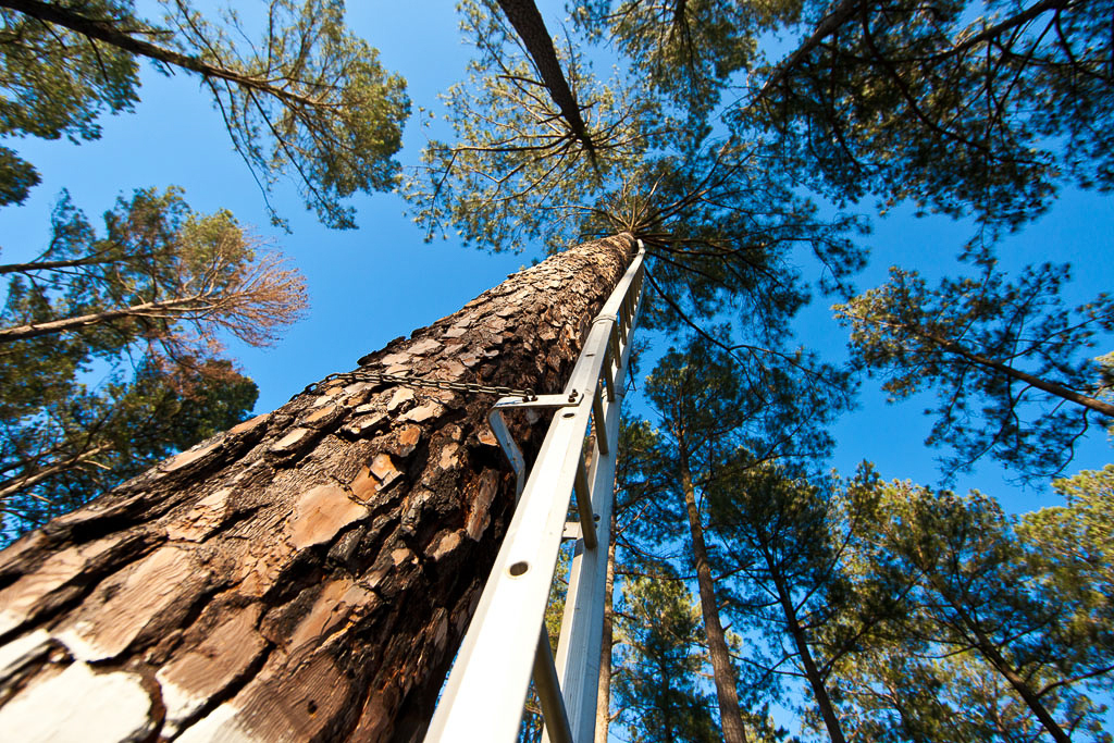 Swedish Climbing Ladders on Red-cockaded Woodpecker Cavity Tree – Swedish climbing ladders placed on a Red-cockaded nest tree. These ladders are specifically designed for tree climbing. They are made in ten foot sections and they stack together as the climber builds them up the tree. They are attached to the trunk of the tree with chains. They are erected and taken down each time they are used. This technology allows for researchers to reach the cavity repeatedly over the years without causing any damage to the tree.