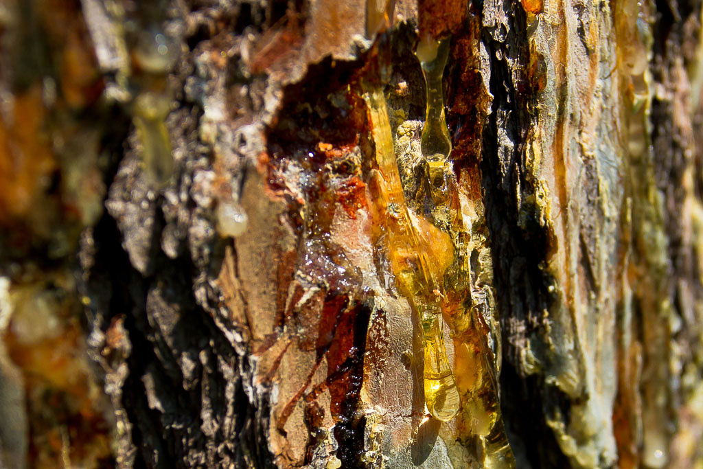 Resin Well with Sap on Red-cockaded Woodpecker Cavity Tree – Red-cockaded Woodpeckers maintain resin wells in the sapwood of cavity trees by chipping away around the edges on a regular basis. This activity maintains the flow of sap and covers the above and below the cavity. The sap is believed to be a deterrent to predators.