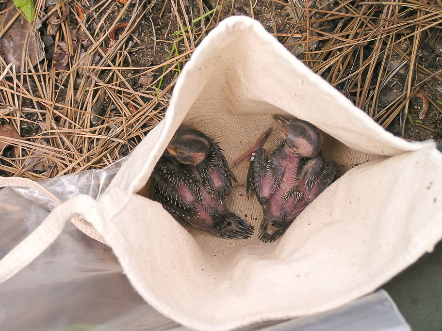 Red-cockaded Woodpecker Chicks in Bag – Two Red-cockaded Woodpecker chicks in a cloth bag. The bag with a strap is used to lower the brood from the cavity to the ground for banding.