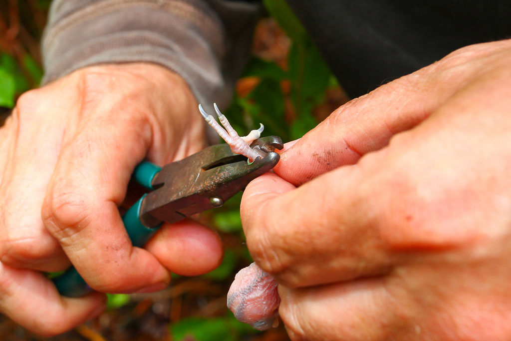 Applying a USFWS Band to Red-cockaded Woodpecker – After chicks are lower to the ground they are examined, aged, weighed, and banded with an aluminum band stamped with a unique numeric code. This code identifies the specific individual for life. The aluminum band is applied with a set of banding pliers that are made specifically for this purpose.