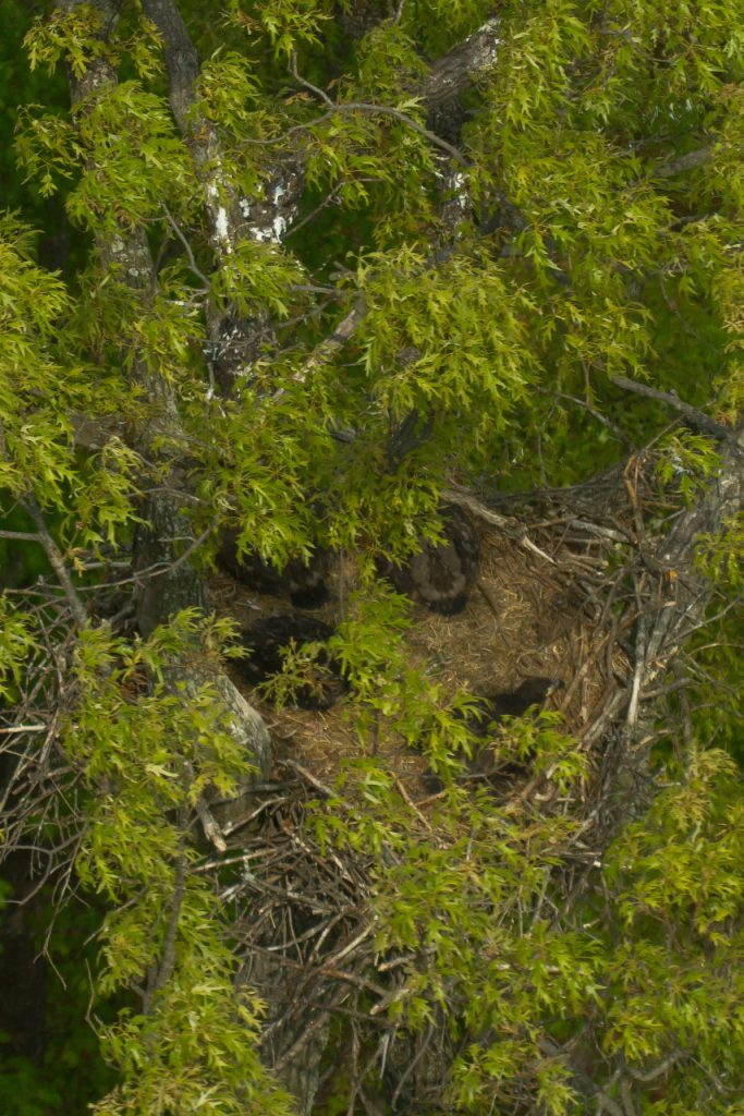 A rare four-chick bald eagle brood at four weeks old