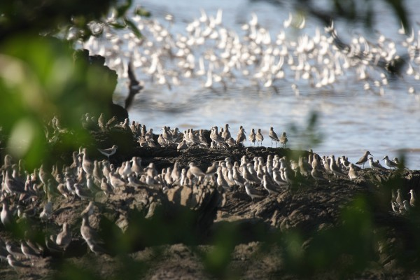 A flock of mostly western sandpipers on a tidal rock outcropping
