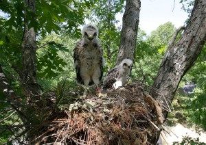 A pair of red-shouldered hawk chicks in their nest