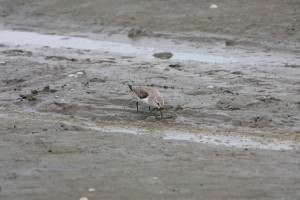 A western sandpiper forages in the mudflats of Panama Bay 1
