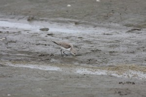 A western sandpiper forages in the mudflats of Panama Bay 2