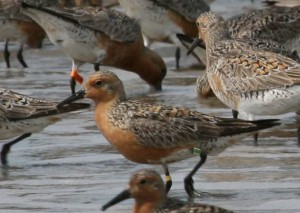 Banded and flagged red knots foraging on the Eastern Shore of Virginia