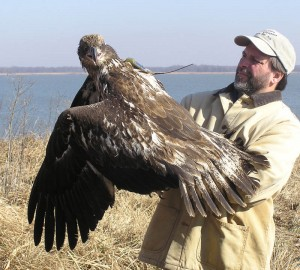 Bryan Watts holds a satellite-tagged second-year juvenile bald eagle