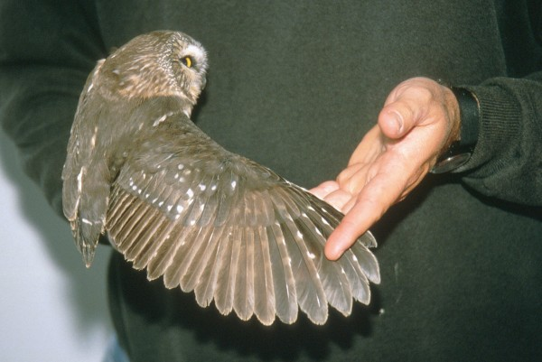 Characteristic molt pattern of second-year northern saw-whet owl