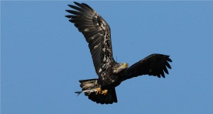 Charles Lentz photographed satellite transmitter-wearing immature male bald eagle, Hudson with fish 1
