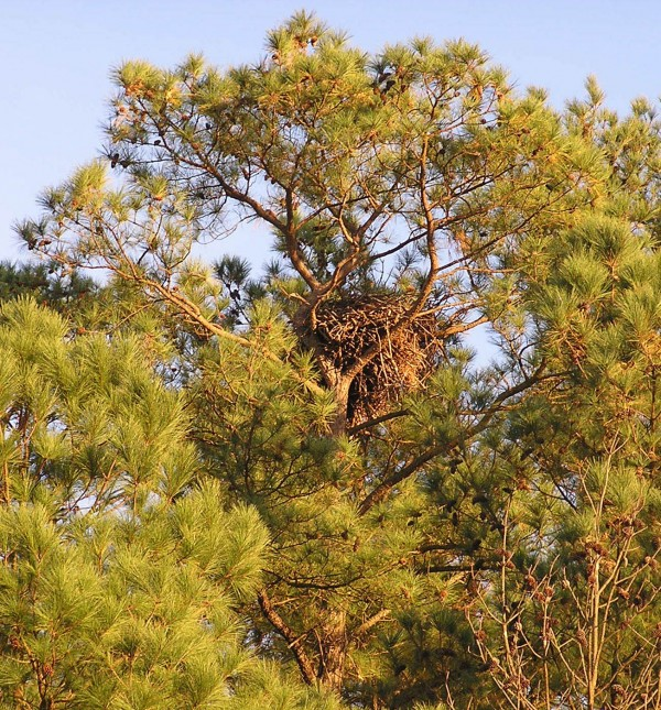 Eagle nest in loblolly pine tree in Westmoreland County
