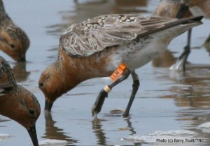 Flagged red knot foraging in the surf