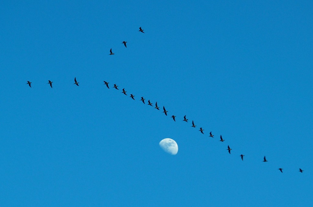 Flock of whimbrel flying over Boxtree Creek