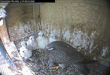 James feeding brood of four in nest box on James River Bridge