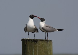 Laughing Gulls on pier