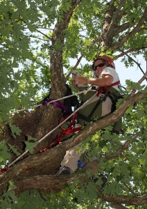 Libby Mojica climbs a tree to access a red-shouldered hawk nest