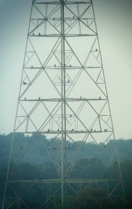 More than 30 bald eagles roosting on the transmission tower
