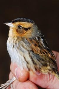 Nelson's sparrow captured on Back Bay National Wildlife Refuge