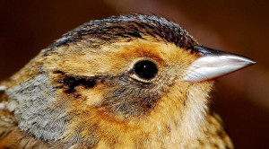 Nelson's sparrow in winter