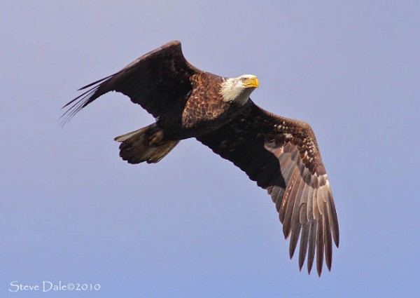 adult bald eagle flies above the Susquehanna River