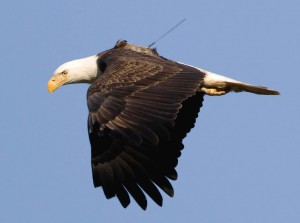 adult female bald eagle, Champlain