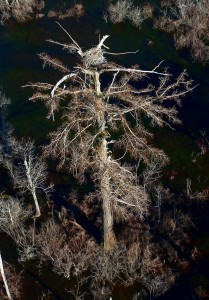 bald eagle incubates in nest on a several hundred year old bald cypress in the Dragon Swamp
