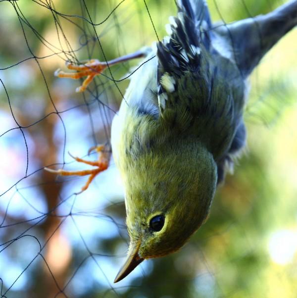 blackpoll warbler caught in a mist net