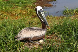 brown pelican on nest with egg