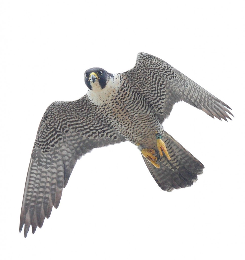 dult female falcon breeding on Watts Island, VA