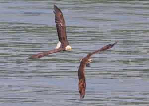 emarkable chase scene of an adult bald eagle in pursuit of an osprey carrying a fish 1