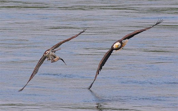 emarkable chase scene of an adult bald eagle in pursuit of an osprey carrying a fish 2