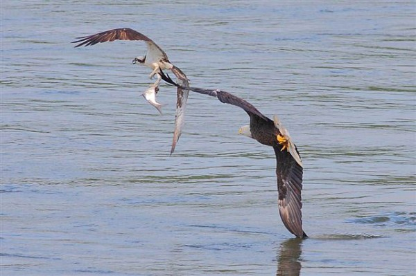 emarkable chase scene of an adult bald eagle in pursuit of an osprey carrying a fish 3