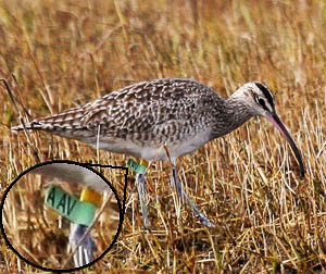 magnified view of whimbrel's leg tag