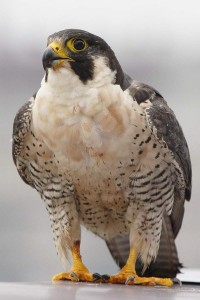 16_female of the Richmond peregrine pair