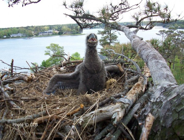 20-day-old Bald Eagle chick in an urban nest in lower Tidewater Virginia.