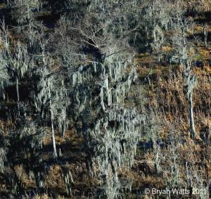 Eagle nest tree in Louisiana Cypress Swamp.