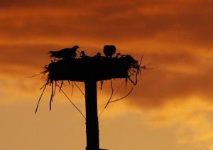 Largo Florida osprey nest at sunset.