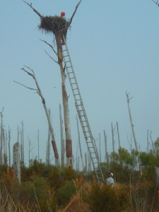 Libby Mojica and Fletcher Smith sampling an Osprey nest for evidence of oil on the barrier islands of Mississippi.