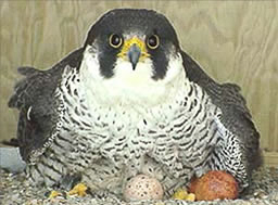 Peregrine Falcon incubating eggs.