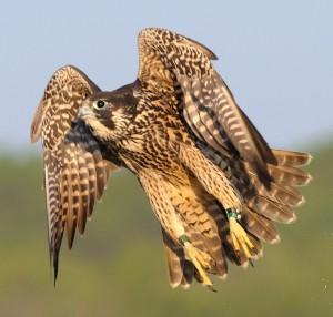 Peregrine Falcon midflight
