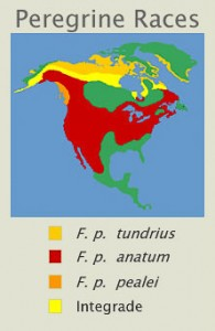 Peregrine Falcon races in North America.