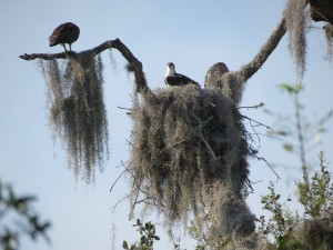 Two adult osprey from a Lake Panasoffkee, Florida nest.