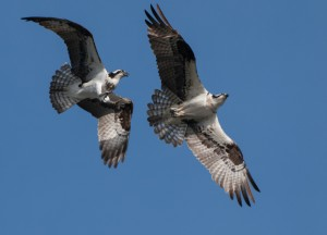 Two adult osprey in flight, from a Burien, Washington nest.