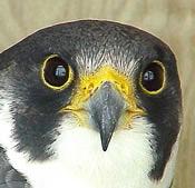 peregrine falcon head shot