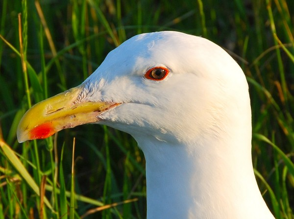 Adult great black-backed gull.  This species has been increasing since they first nested in Virginia in 1972. Photo by Bryan Watts.