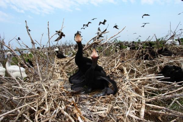 Nestling double-crested cormorants on Smith Island