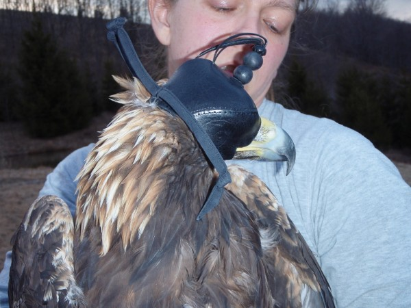 Libby Mojica with golden eagle trapped in Highland County, Virginia and fitted with satellite transmitter. Photo by Fletcher Smith.