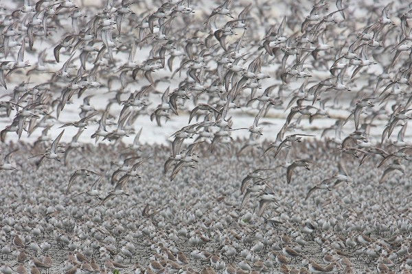 Shorebirds flying into a high tide roost. Photo by Bart Paxton.