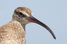 Whimbrel Photo by Bart Paxton.