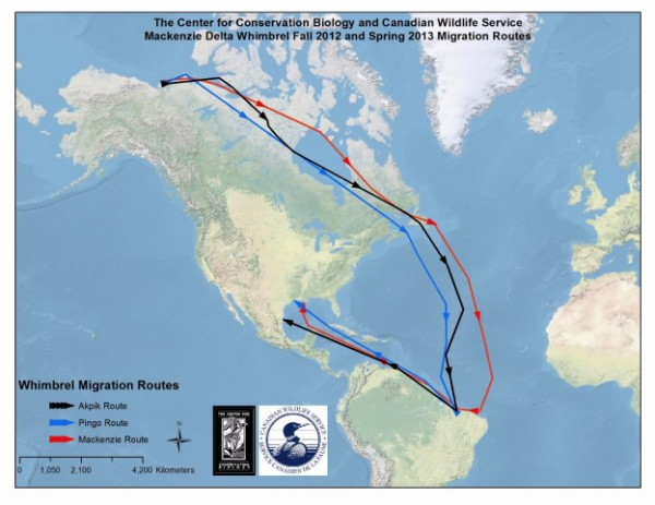 Map of migration route for 3 whimbrels marked on breeding ground in western Canada.  Recent flight from Brazil to Gulf of Mexico was previously undocumented.